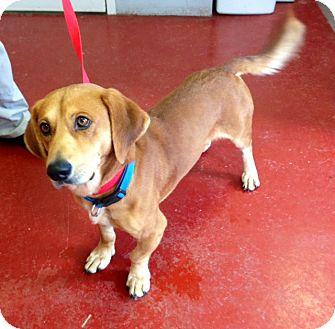Labrador Retriever/Basset Hound Mix Dog for adoption in Florence, Indiana - Cooper