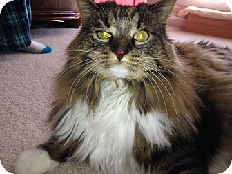 Maine Coon Cat for adoption in Nashville, Tennessee - Betsy