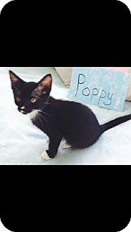 Domestic Shorthair Kitten for adoption in St. Francisville, Louisiana - Poppy