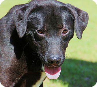 Labrador Retriever Mix Dog for adoption in Minnetonka, Minnesota - AUGGIE-the perfect family dog