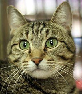 Domestic Shorthair Cat for adoption in New York, New York - Brock