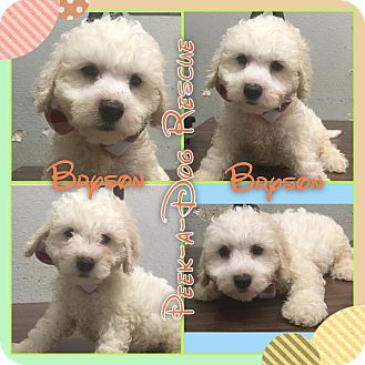 Poodle (Miniature)/Maltese Mix Puppy for adoption in South Gate, California - Bryson