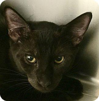 Domestic Shorthair Kitten for adoption in Clarksville, Tennessee - Dr. Pepper