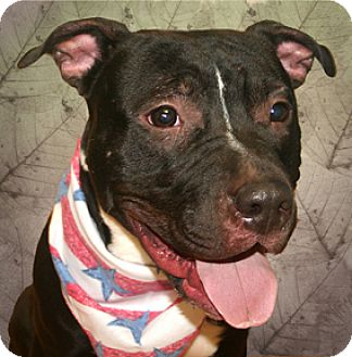 Staffordshire Bull Terrier Mix Dog for adoption in Cincinnati, Ohio - Rocko