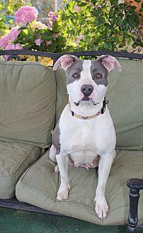 American Staffordshire Terrier Mix Dog for adoption in Toluca Lake, California - Lisa
