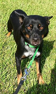 Blue Heeler Mix Dog for adoption in Beaumont, Texas - FRENCHIE