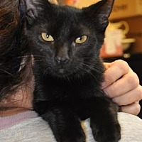 Domestic Shorthair Kitten for adoption in Pompano Beach, Florida - Cole