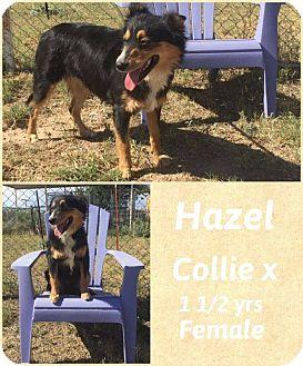 Collie Mix Dog for adoption in DeForest, Wisconsin - Hazel