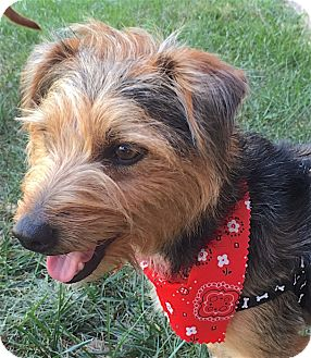 Yorkie, Yorkshire Terrier/Jack Russell Terrier Mix Dog for adoption in Pulaski, Tennessee - Harry