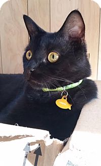Domestic Shorthair Cat for adoption in Rochester Hills, Michigan - Vader