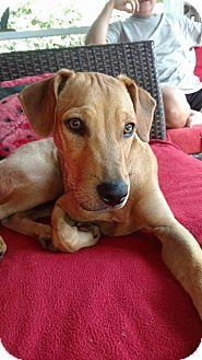 Labrador Retriever/Labradoodle Mix Puppy for adoption in Piedmont, South Carolina - Scamp