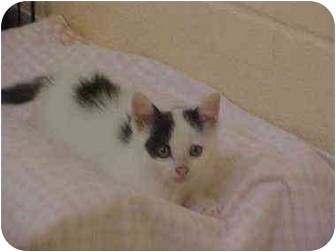 Domestic Shorthair Kitten for adoption in Burnsville, North Carolina - Ashton