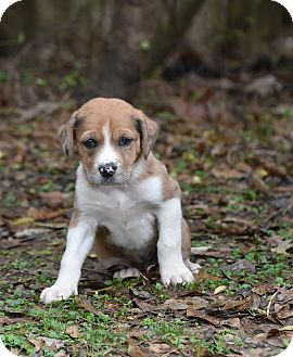 Catahoula Leopard Dog Mix Puppy for adoption in Groton, Massachusetts - Gracie
