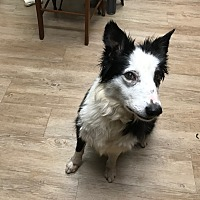 Border Collie Dog for adoption in Mount Ida, Arkansas - Creek