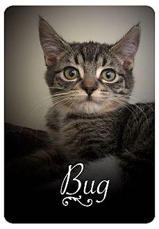 Domestic Mediumhair Kitten for adoption in Meridian, Idaho - Bug