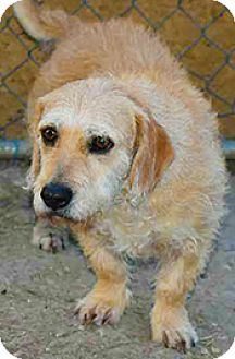 Basset Hound Mix Dog for adoption in Jarrell, Texas - Sally