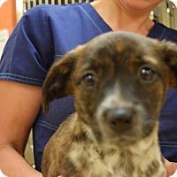 Adopt A Pet :: Brissie - Tampa, FL