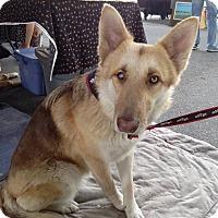 Adopt A Pet :: Amber - Green Cove Springs, FL