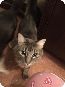 Domestic Longhair Cat for adoption in Berkeley Hts, New Jersey - Janice