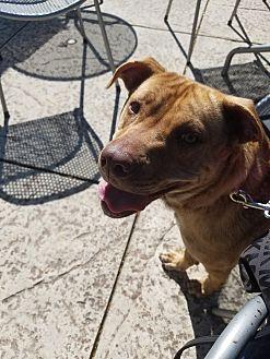 Labrador Retriever/American Pit Bull Terrier Mix Dog for adoption in Wake Forest, North Carolina - Pumpkin