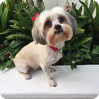 Lhasa Apso Mix Dog for adoption in Los Angeles, California - BAILEY