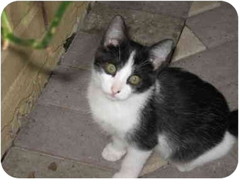 Domestic Shorthair Kitten for adoption in Brownsville, Texas - Juno