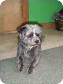 Schnauzer (Miniature)/Shih Tzu Mix Dog for adoption in Appleton, Wisconsin - Boru