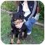 Photo 4 - Australian Shepherd/Schipperke Mix Dog for adoption in Marion, Arkansas - Abby - Urgent!!