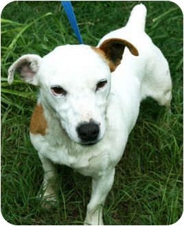 Jack Russell Terrier Mix Dog for adoption in Allentown, Pennsylvania - Melanie