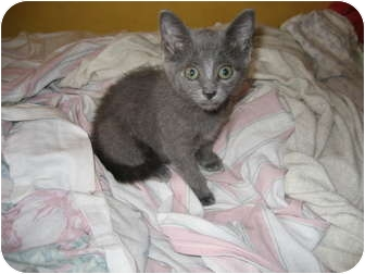 Russian Blue Kitten for adoption in Brooklyn, New York - Annie