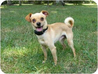 Chihuahua/Feist Mix Dog for adoption in Mocksville, North Carolina - Carlos