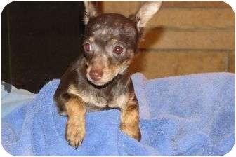 Chihuahua Mix Puppy for adoption in Livonia, Michigan - Jitterbug - Adoption Pending