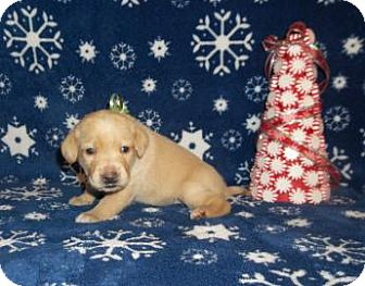 Labrador Retriever Mix Puppy for adoption in Larned, Kansas - Betty Beetle
