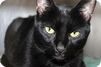 Domestic Shorthair Cat for adoption in Seville, Ohio - Sam