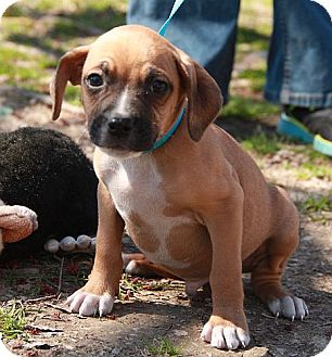 Boxer/Chihuahua Mix Puppy for adoption in Harmony, Glocester, Rhode Island - Budweiser
