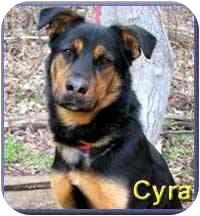 German Shepherd Dog/Rottweiler Mix Dog for adoption in Aldie, Virginia - Cyra