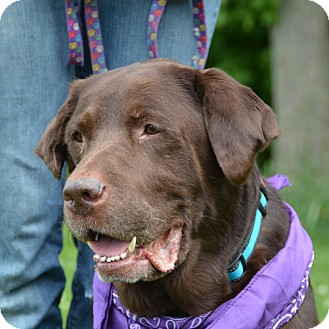 Labrador Retriever Dog for adoption in Mount Gilead, Ohio - Chip (Chocolate Chip!)