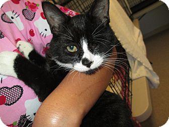 Domestic Shorthair Kitten for adoption in Warwick, Rhode Island - Bogey