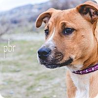 Adopt A Pet :: Pumpkin - West Richland, WA