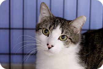 Domestic Shorthair Cat for adoption in Chicago, Illinois - Bismark