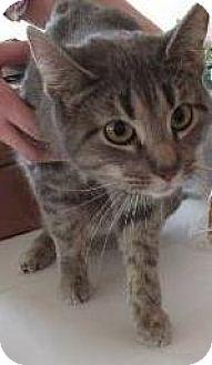 Domestic Shorthair Cat for adoption in Hillside, Illinois - Lila