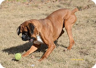 Boxer Mix Dog for adoption in Westminster, Maryland - Winston