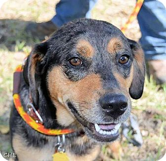 Catahoula Leopard Dog/Labrador Retriever Mix Dog for adoption in Jarrell, Texas - Carl