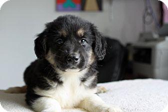 Shepherd (Unknown Type) Mix Puppy for adoption in Hillsboro, Illinois - Rosie-ADOPTION PENDING