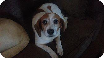 Beagle Mix Dog for adoption in Berea, Kentucky - Gemma
