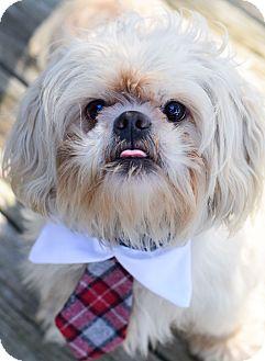 Shih Tzu Mix Dog for adoption in Denver, Colorado - Nelson