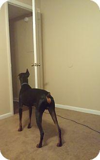 Doberman Pinscher Dog for adoption in Lloyd, Florida - Aries