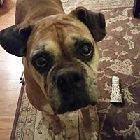 Boxer Dog for adoption in Hurst, Texas - Penelope