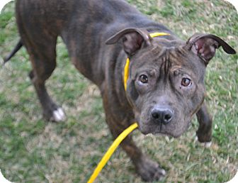 Staffordshire Bull Terrier/Pit Bull Terrier Mix Dog for adoption in Fruit Heights, Utah - Maizee