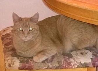 Domestic Shorthair Cat for adoption in Colorado Springs, Colorado - Poseidon